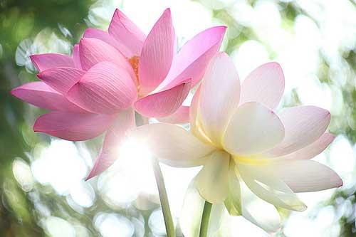 imagens de flores orientais