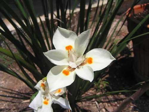 Fotos de Flor de Iris