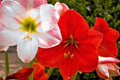 Flor Amarílis