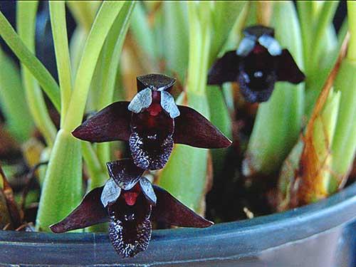 orquídeas br