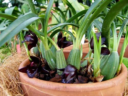orquídeas brasileiras