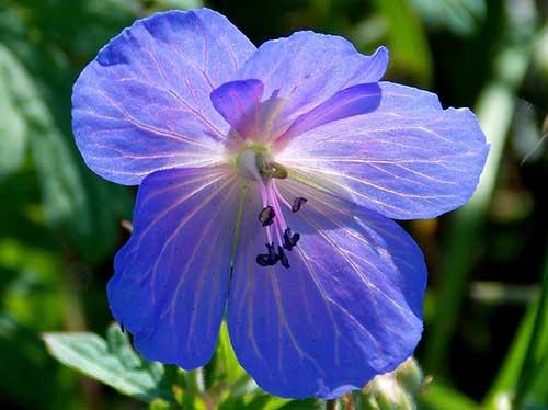 violeta azulada