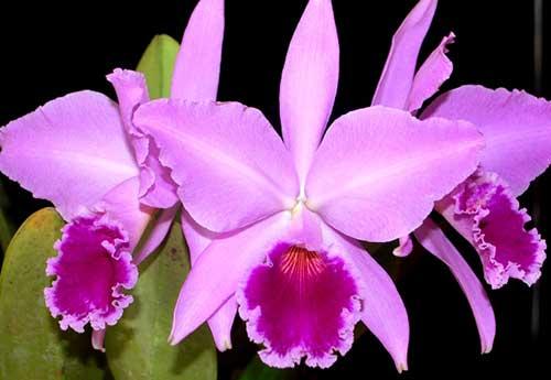 fotos de orquídeas brasileiras