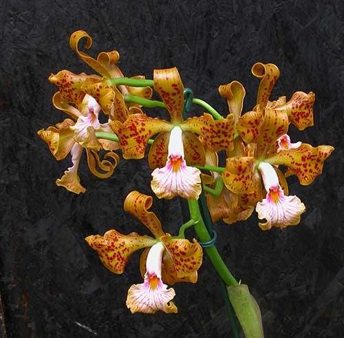 orquídeas brs