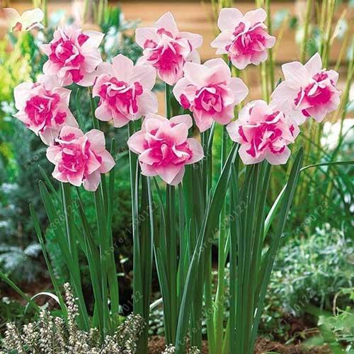 Flor de Bulbos