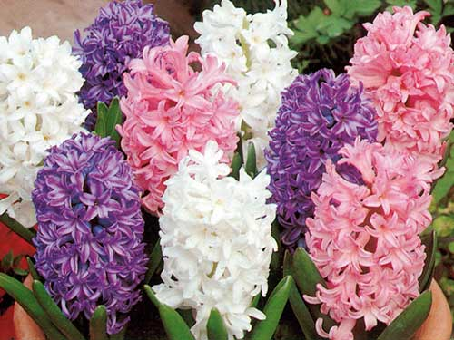 fotos de Flor de Bulbos