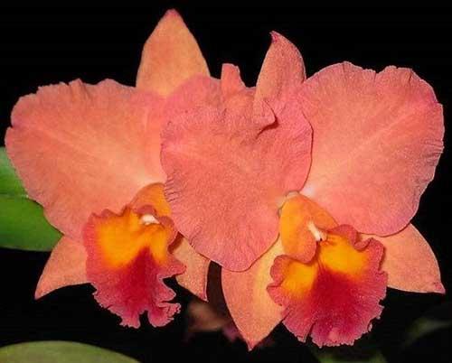 Guia Orquídea Cattleya Cultivo Cuidados Características