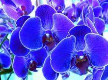 orquídeas azuis