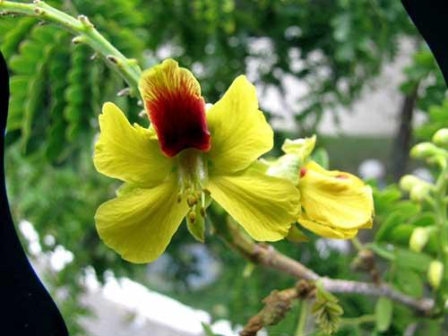 flor de pau brasil