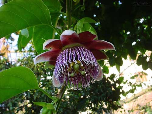 flor de maracuja