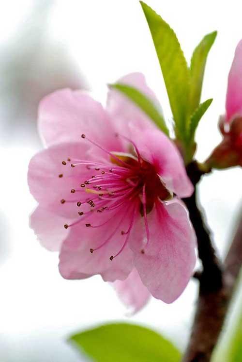 fotos de flor de cerejeira