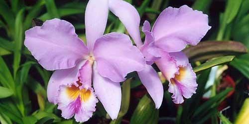 orquídeas cattleya