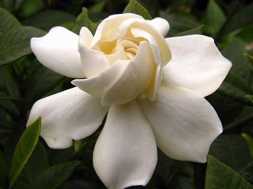 fotos de gardenias