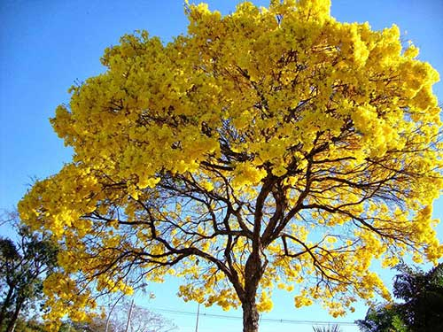 amarela