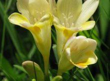 flor frésia