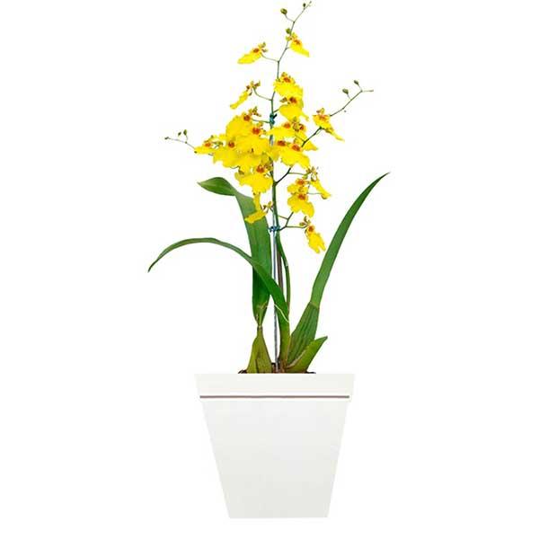 Fotos da Orquídea Chuva de Ouro