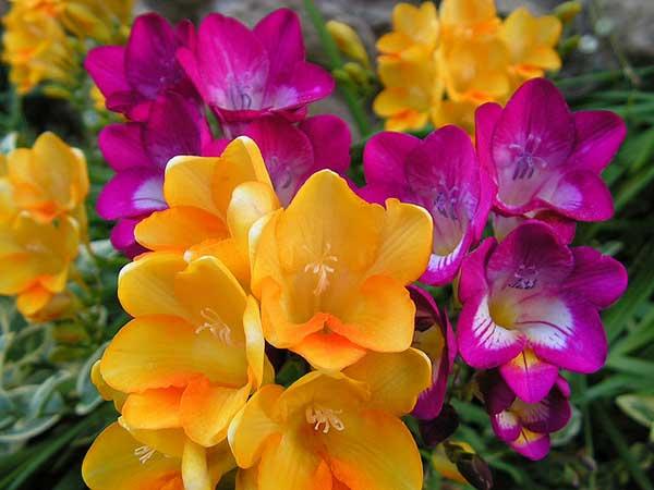 fotos da flor frésia