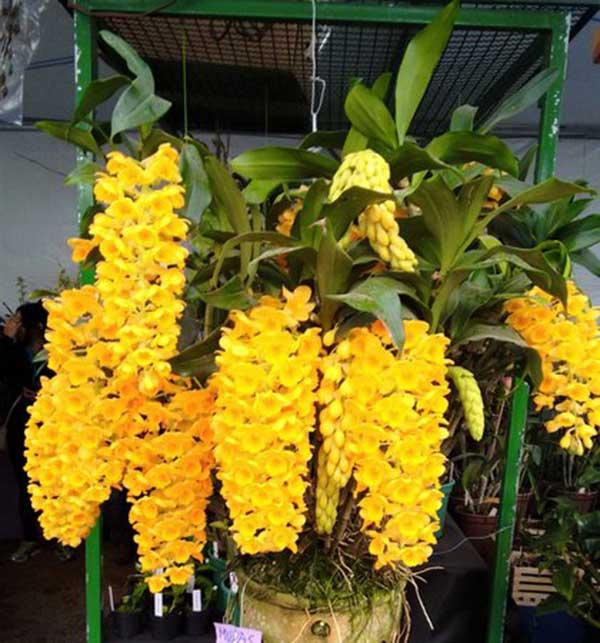 Fotos de Orquídea Dendrobium