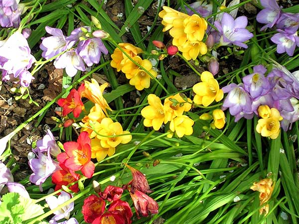 imagens da flor frésia
