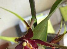 flor brassia