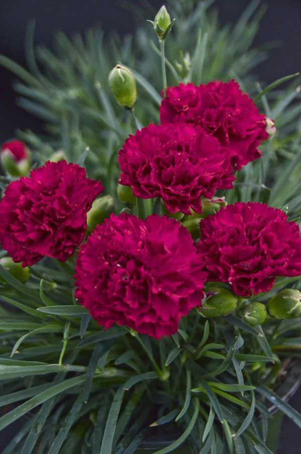 Floração